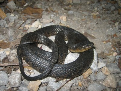Mississippi Green Watersnake (Nerodia cyclopion)
