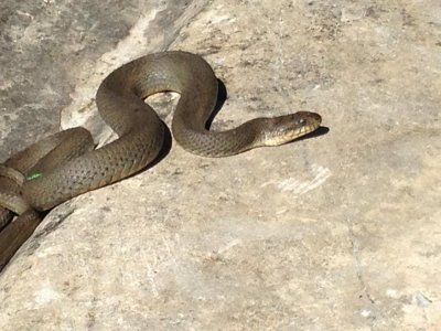 Lake Erie Watersnake (Nerodia sipedon insularum)