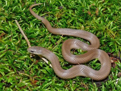 Rough Earthsnake (Virginia striatula)