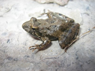 Cricket Frog (Acris crepitans)