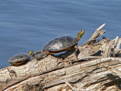 Southern Painted Turtle (Chrysemys dorsalis)